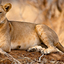 Lioness Page