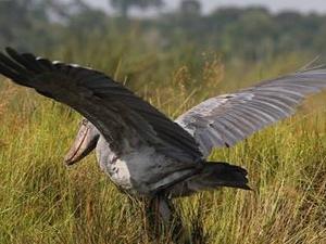 Birding Uganda 17 Days Fotos