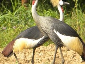 Uganda Forest Birding and Gorillas Fotos