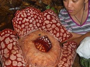 Blooming Rafflesia Tour