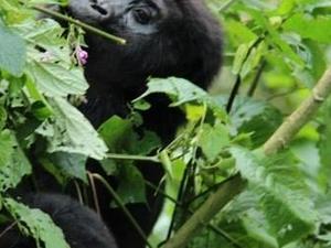 Rwanda Gorilla Trekking Safari Photos