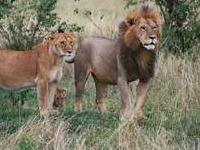 Large Gregarious Predatory Feline Of Masai Mara