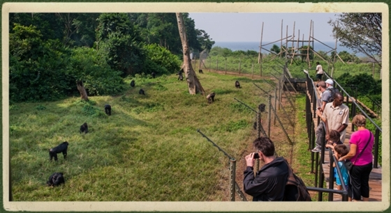Ngamba Chimpanzee Island Photos