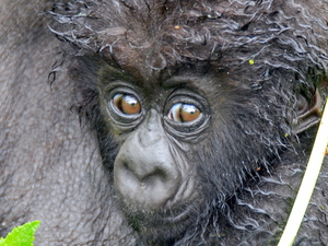 Gorilla Trekking Photos