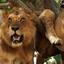 Queen Elizabeth Lions