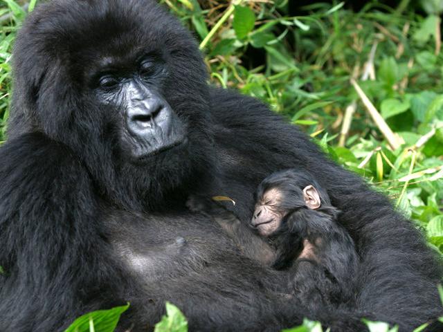 Gorilla Trekking Rwanda Photos