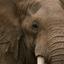 Elephant Kubwafive Safari
