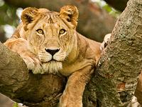 Hexagon Safari: Classic Uganda Primate Adventure