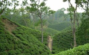 Tea Garden & Tribal Tour Photos