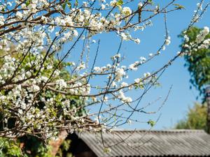 Moc Chau Plateau – Seasons of Flowers Photos