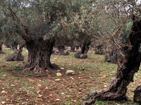 Holy Land Olive Industry.