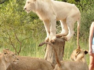 Rustenburg - Sun City to Ukutula Lion Park Day Tour Fotos