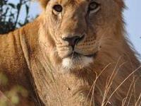 Mara - Nakuru - Naivasha Safari