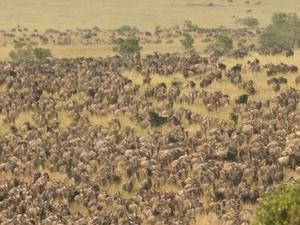 Mara Serena Safari Lodge Wildebeest Migration Safari Fotos