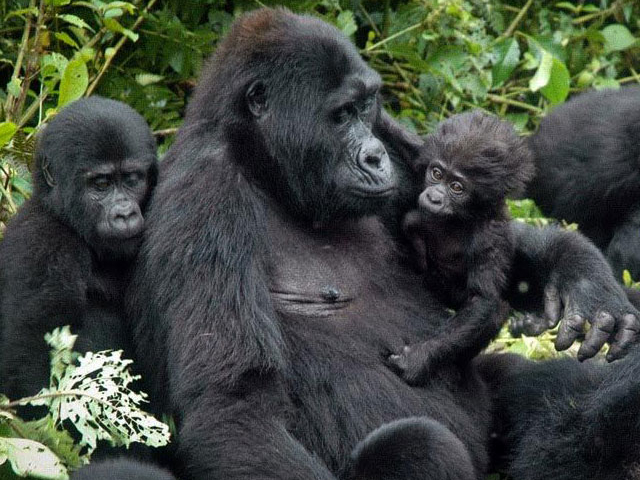 Gorilla Trekking Safari Photos
