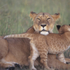 7-Night Kenya Basic Camping Safari from Nairobi: Masai Mara and Loita Hills