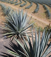 La Noria Blue Agave Mezcal Tour from Mazatlan Photos