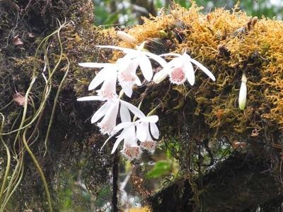 Orchid Annapurna