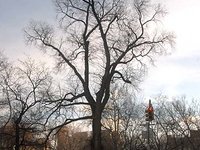 Hangman's Elm