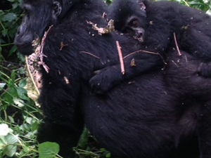 Epic Gorilla and Wildlife Safari Photos