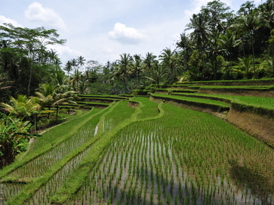 Rice Fields At The Entrance To Gunung Kawi Temple