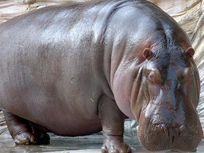 Hippopotamus     0 4