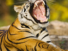 India Wildlife Tiger1