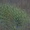 Jim Corbett National Park Daincing Peacock