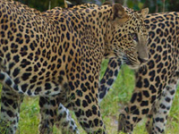 Leopards Of Sri Lanka Yalla
