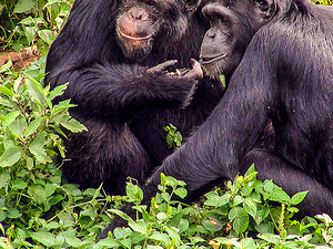 Chimpanzee Trekking Uganda Photos
