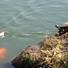 A Carp, A Duck And A Turtle