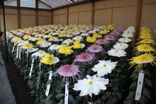 Chrysanthemum Flower Exhibition