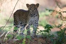 Big Cat Sri Lanka C Sri Lanka Tourism