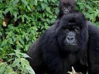 Gorilla Trekking Safari-Uganda