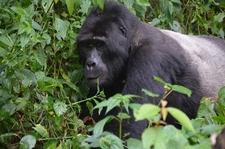 Gorilla Planet 3