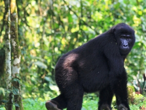Primate Safaris with Gorilla Tracking Photos