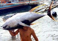 Tuna Export In General Santos City