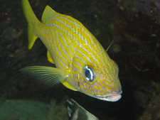 Wendypic5 Yellow Snapper