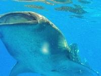 Whale Shark Encounterp6090118