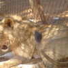 Lion Relaxing At Animal Orphanage
