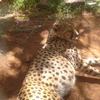Sleeping Cheetah At Nairobi Animal Orphanage