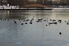 Waterfowl In Winter At Baisley Pond