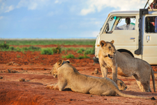 Lions In Tsavo East