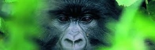 Gorilla Banner