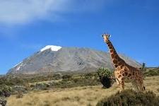 Giraffe With The Mount Kilimanjaro,.Waxbill Safaris