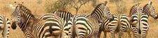 Zebras Lake Mburo National Park