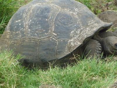 Gigantic  Turtle On The  Island Of  Santa  Cruz In The  Galapagos