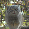 Pallas's Cat At The Zoo
