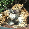 Chinese Leopards