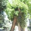 The Oldest Tree In Paris, Square René-Viviani